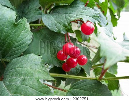 Red Unripe Fruits Of The Viburnum Opulus Among Green Juicy Leaves. Berries Of A Guelder-rose Grow On