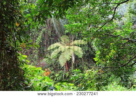 Relict Palm Tree Fern In Bali Ubud Forest