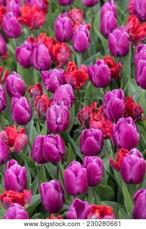 Abstract Background .red And Purple Tulips Flowers Blooming In A Park