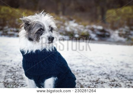 Cool Funny Freezing Icy Dog In Snow With Pullover Or Sweater , Sitting And Waiting To Go For A Walk