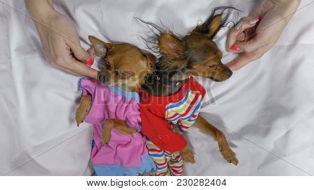 Newborn Puppy Sleeping. Adult Dogs Toy Terrier In Sliders. Shooting On White Background. Dogs Are Ve