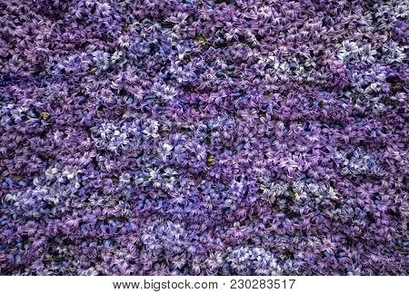 Abstract Background . Close-up Of Violet Hyacinths Flowers