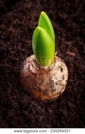 Young hyacinth in raw soil, view from above.