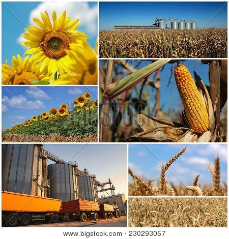 Agricultural Crops. Collage Of Photographs Showing Agricultural Crops In Cultivated Agricultural Fie