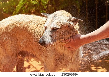 Man Holding Dog While Washing Close-up. Cleaning Big Brown Dog