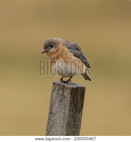 An Eastern Bluebird (sialia Sialis) Perched On A Wooden Stake, In Left Profile, Feathers Ruffled,  I