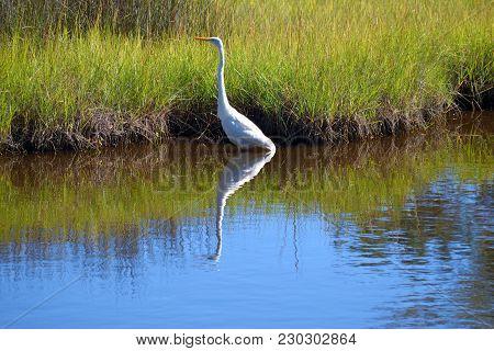 Great White Heron Wading On The Marshland Of Florida, Usa