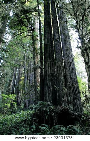 Tall Trees In The Redwood Forest On The West Coast, Northern California.