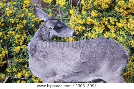 A Close Up Portrait Of A Mule Deer Doe Browsing On Yellow Flowers