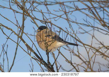 Closeup Shot Of Bullfinch On A Branch