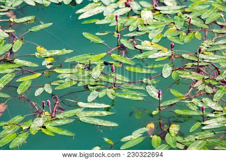 Plant On The Surface Of The Water In The Lake .