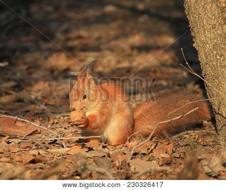 Squirrel In The Park On A Ground On A Sunny Warm Day