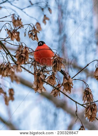 Bullfinch Sitting On A Branch In The Park. Little Wild Bird With Bright Pinkish-red Breast And Cheek
