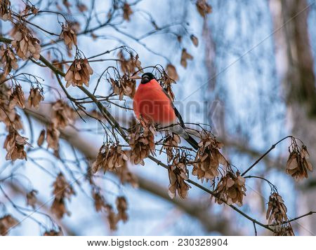 Little Winter Bird Sitting On A Branch In The Park And Holding Food In Its Beak. Cute Eurasian Bullf