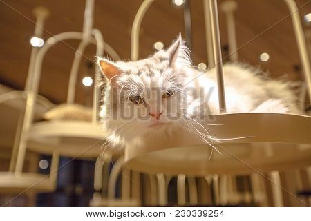Turkish Angora Cat, Long Fur Breed Of Domestic Cat Of White Color.