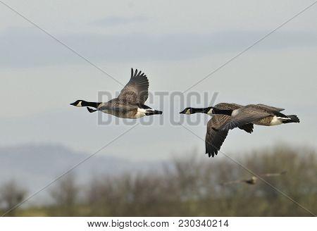 Canada Goose - Branta Canadensis Two Birds In Flight