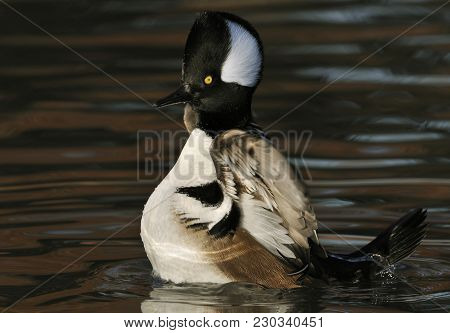Hooded Merganser - Lophodytes Mergus Cucullatus Male Standing Up In Water Flapping Wings