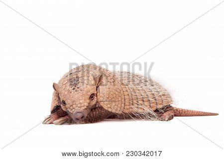 Six-banded Armadillo, Euphractus Sexcinctus, Isolated On White Background