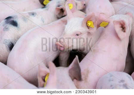 Pink Pigs, Pigs On The Farm, Piglets Go Eat