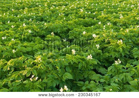 Beautiful Blooming Potato Field With Flowers. Green Field Of Blooming Potatoes.