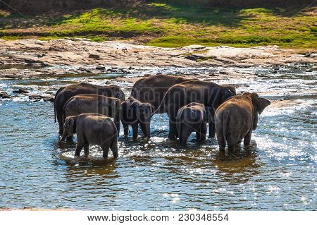 Herd of elephants bathing in the jungle river of Sri Lanka.