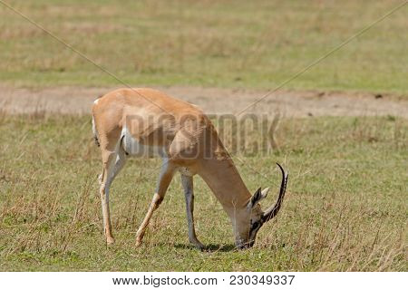 Closeup of Grant's Gazelle (scientific name: Gazella granti, robertsi or