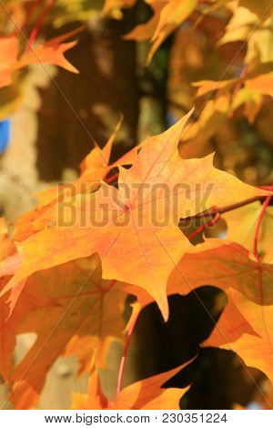 Maple Leaf. Maple Tree with gold, yellow, orange, red , green maple leafs with a blue sky background.