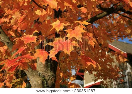Maple Leaf. Maple Tree with gold, yellow, orange, red , green maple leafs with a blue sky background. backgrounds and textures