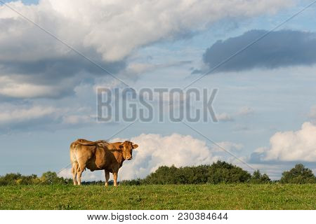 Blonde D'aquitaine Beef Cow On A Meadow Watching