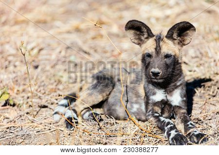 Endangered animal African wild dog puppy in safari park in South Africa