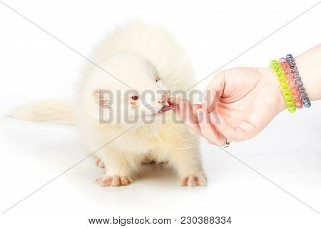 Albino Ferret On White Background Touched By Hand