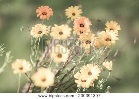 Selective Focus Faded Yellow And Orange Daisies In A Meadow For Design Background