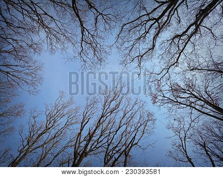 View Of Forest Canopy In Winter, Perspective To The Sky