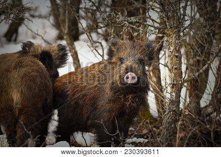 Young Wild Boars Looking At The Camera ( Sus Scrofa ), Animals In Natural Habitat