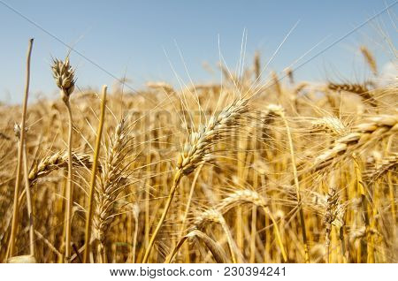 Wheat Crops Towards The Sun Agriculture, Industry