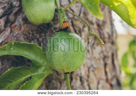 Green Passion Fruit Hanging On The Tree. Close Up View Of Passion Fruit On The Vine.   Passiflora Ed