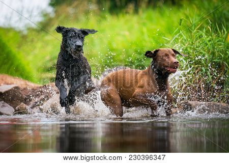 A Labrador Retriever And A Giant Schnauzer Romping In A Water In Fair Weather.