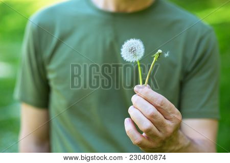 Man holding two dandelions: hairy and bald. Treatment of alopecia concept