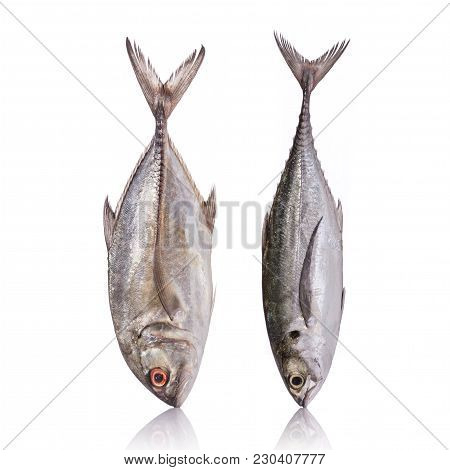 Giant Trevally, Giant Kingfish Or Caranx. Studio Shot Isolated On White Background