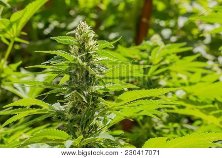 Close Up Of Home Grown Cannabis Medical Marijuana Flowers And Leaves