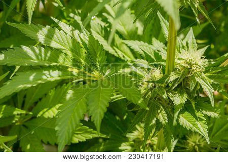 Close Up Of Cannabis Medical Marijuana Flowers And Leaves