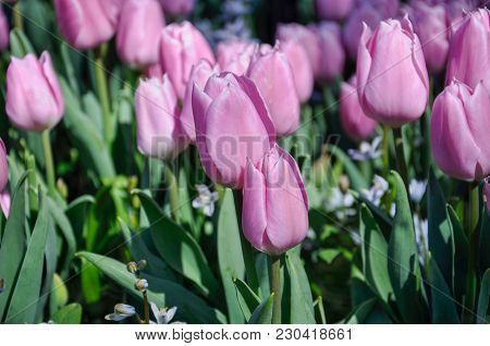 Tulip Blossom. Close-up Pink Flowers Field Outdoors.
