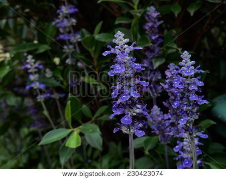 Blue Salvia At The Site.blue And Is Beautiful In Pots.