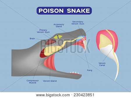 Poison Snake Infographic Vector On Blue Background