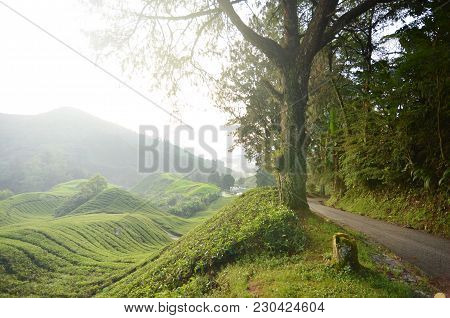 Amazing Highland View At Cameron Highland, Malaysia.the Beauty Of Tea Plantation, Terrace And Hill.