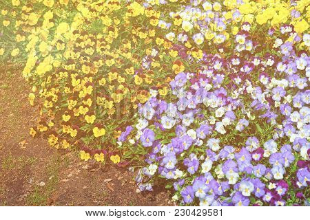 Bright And Colorful Pansies Located In Washington D.c., The United States Of America. Flowerbeds Are