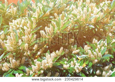 White Itea Which Is Usually Called Little Henry Or Sweetspire Was Photographed In The George Washing