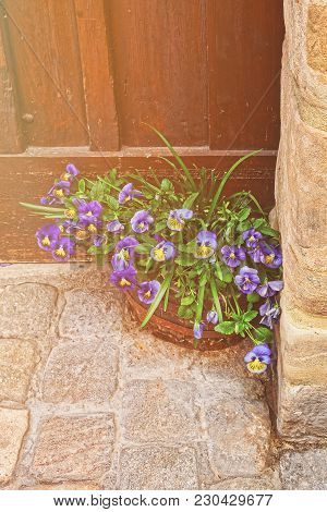 Viola Tricolor In The Flowerbed At The House In The City Center Of Old Bamberg In Upper Franconia, B