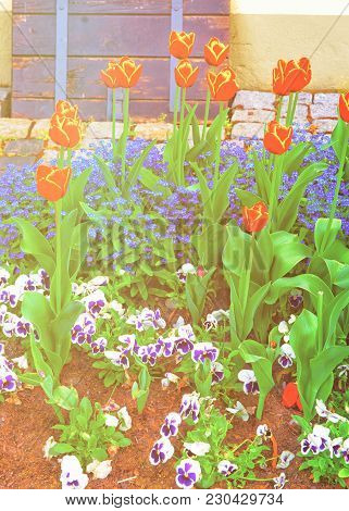 Tulips And Forget Me Not Flowers In A Garden In Reichenau Island On Lake Constance. Reichenau Is An