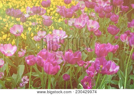 Flowerbed Of Dark And Light Colored Tulips Were Photographed In Washington D.c., The Usa. Flowers Ar